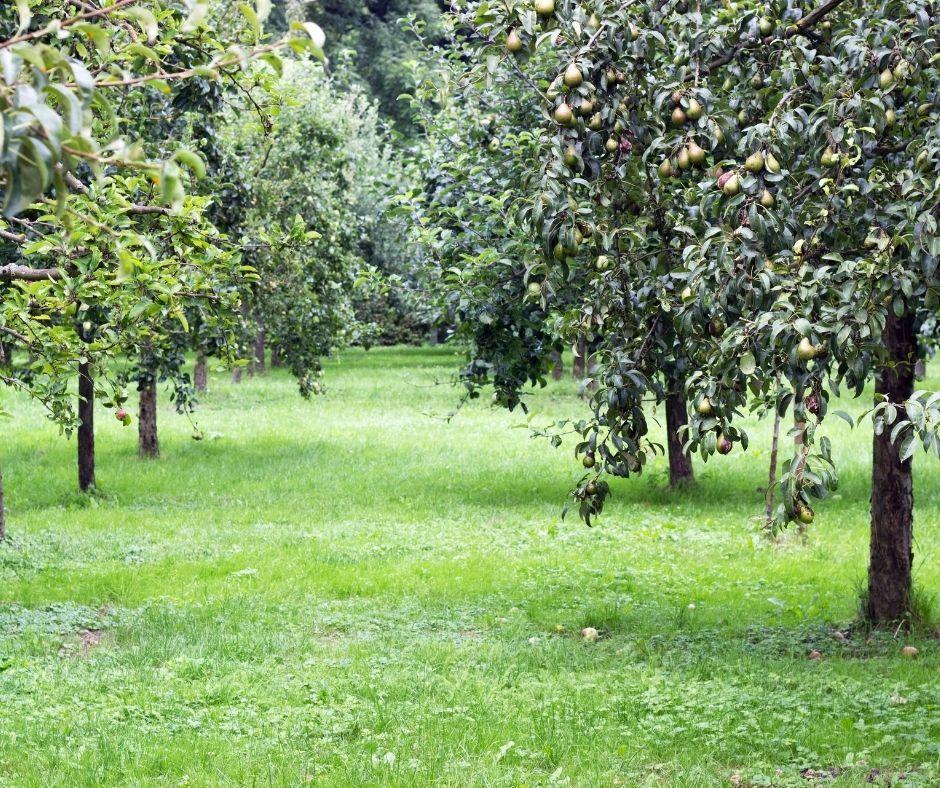 Milyen gyümölcsfákat érdemes egymás mellé ültetni egy kertben?