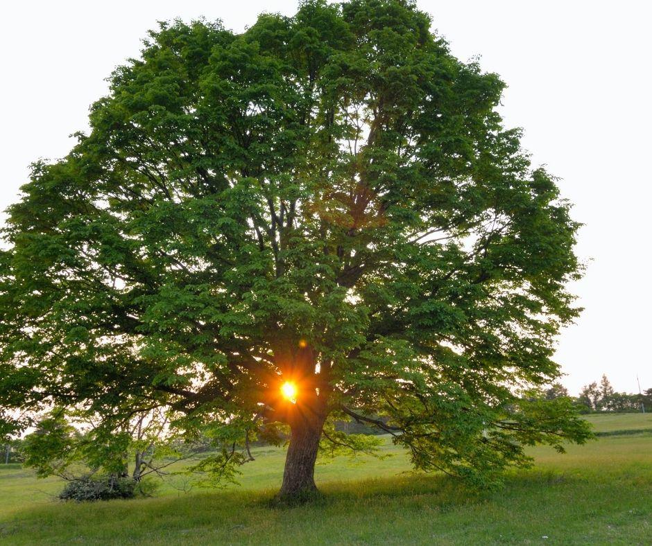 Milyen gyorsan nő a hársfa?